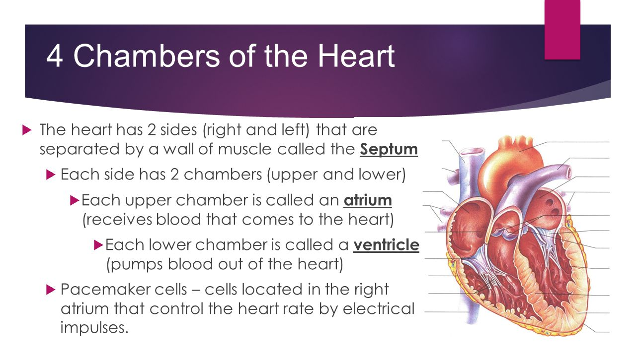 4 Chambers of the Heart The heart has 2 sides (right and left) that are separated by a wall of muscle called the Septum.