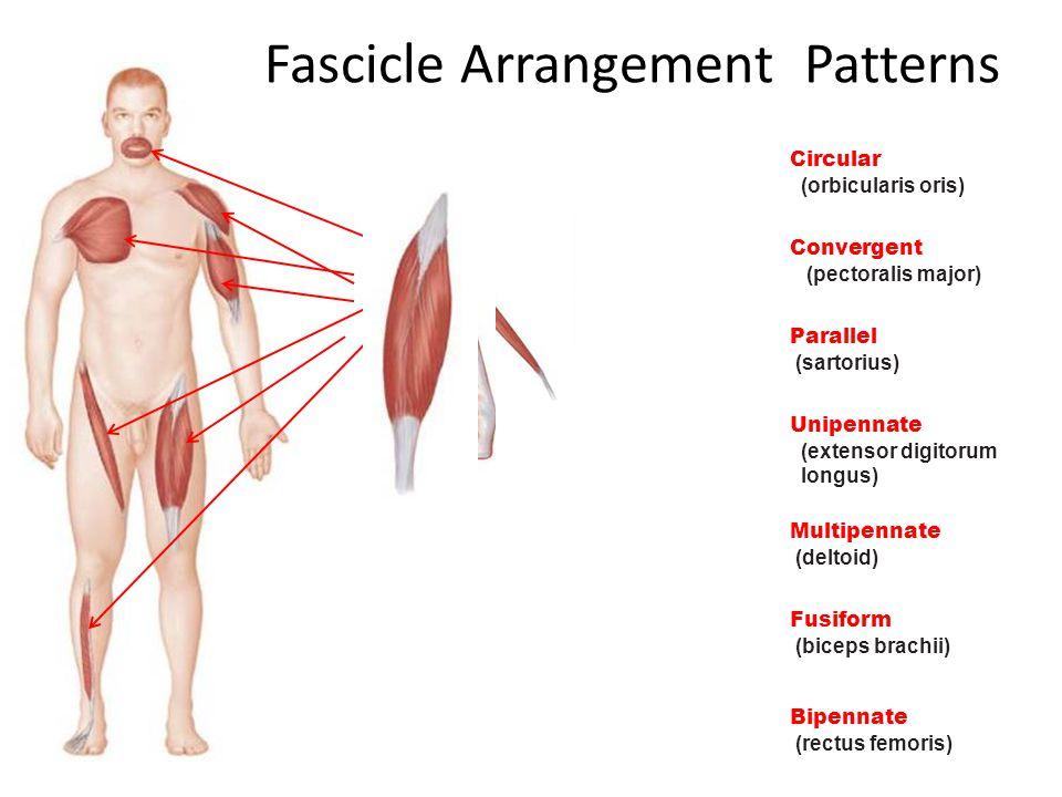 Fascicle Arrangement Patterns
