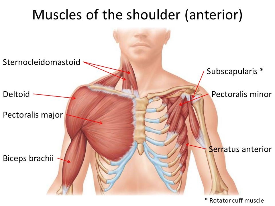 Muscles of the shoulder (anterior)