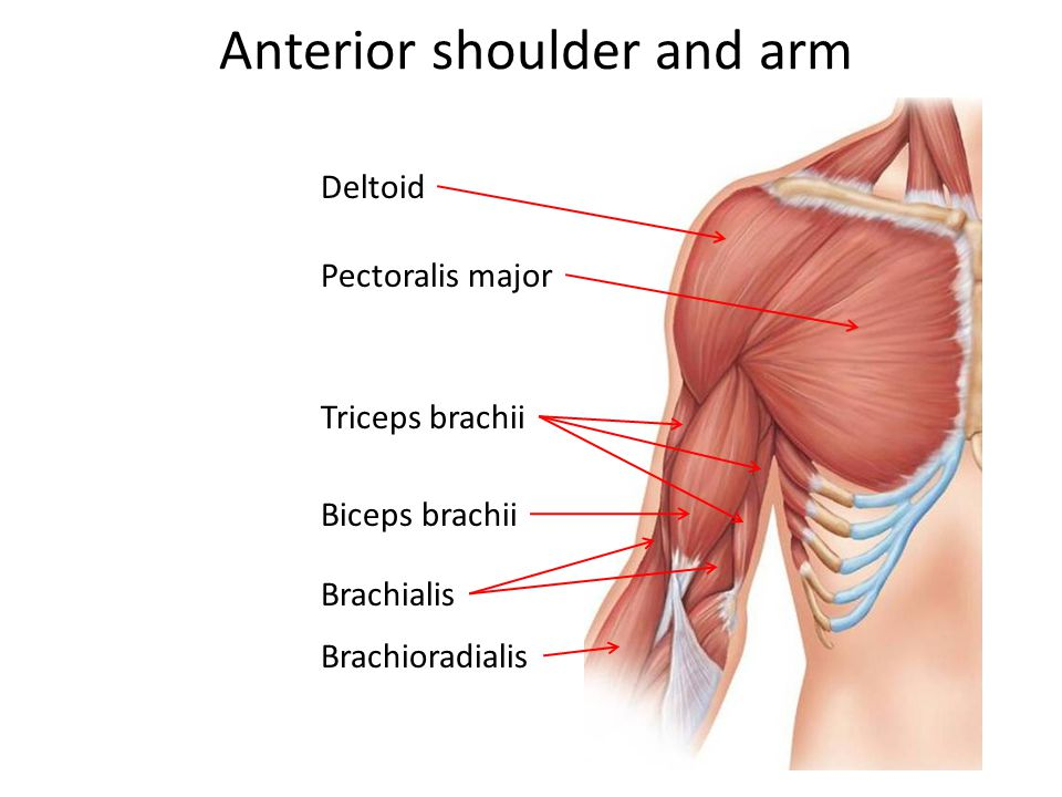 Anterior shoulder and arm