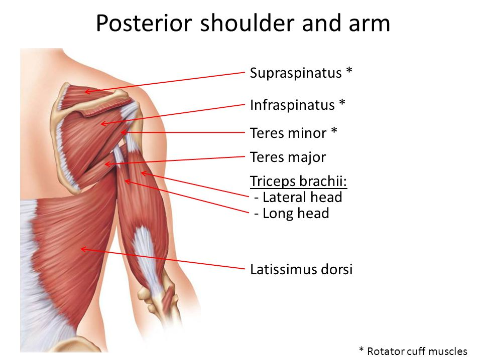 Posterior shoulder and arm