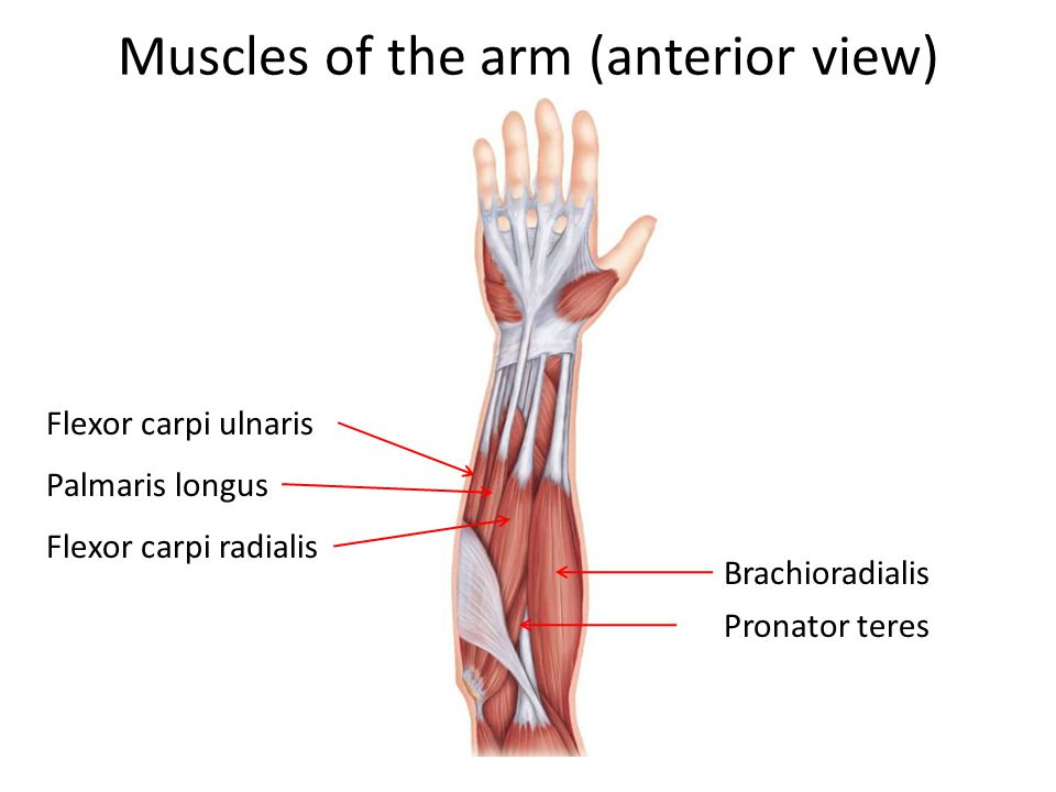 Muscles of the arm (anterior view)