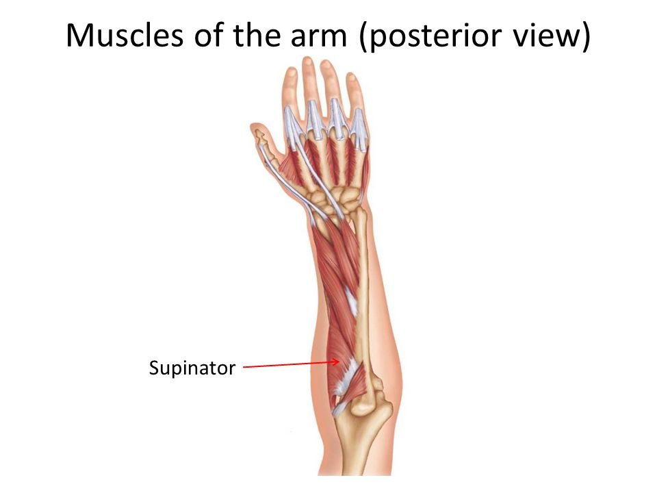 Muscles of the arm (posterior view)