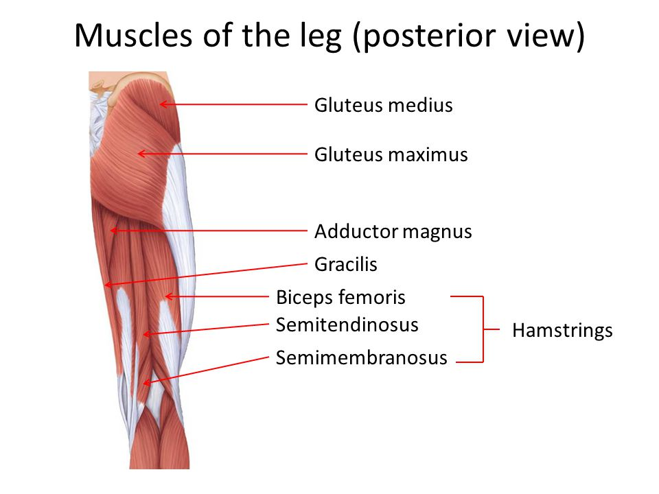Muscles of the leg (posterior view)