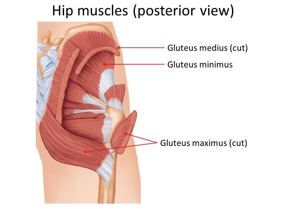 Hip muscles (posterior view)