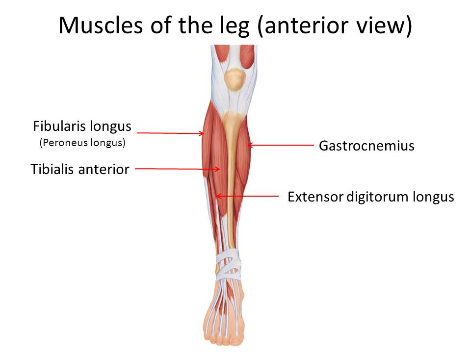 Muscles of the leg (anterior view)