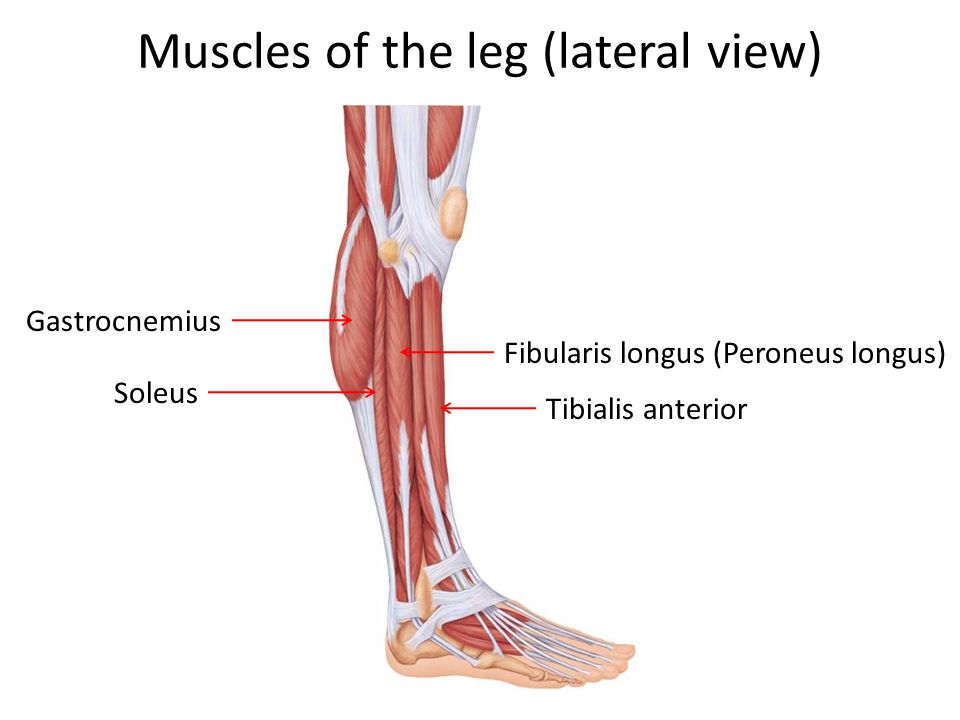 Muscles of the leg (lateral view)