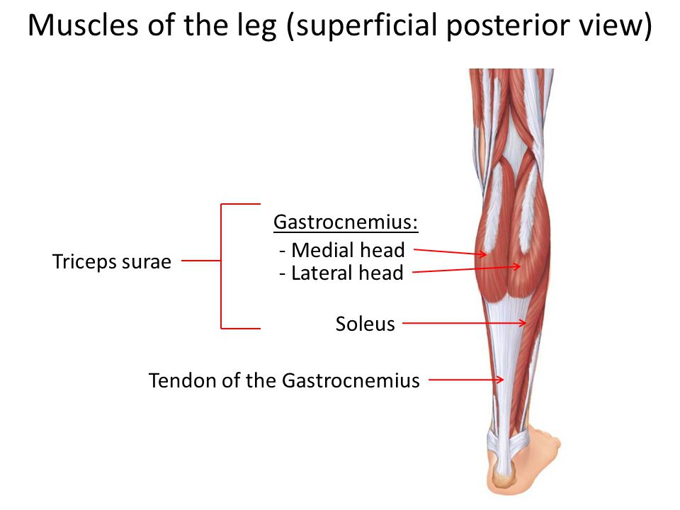 Muscles of the leg (superficial posterior view)