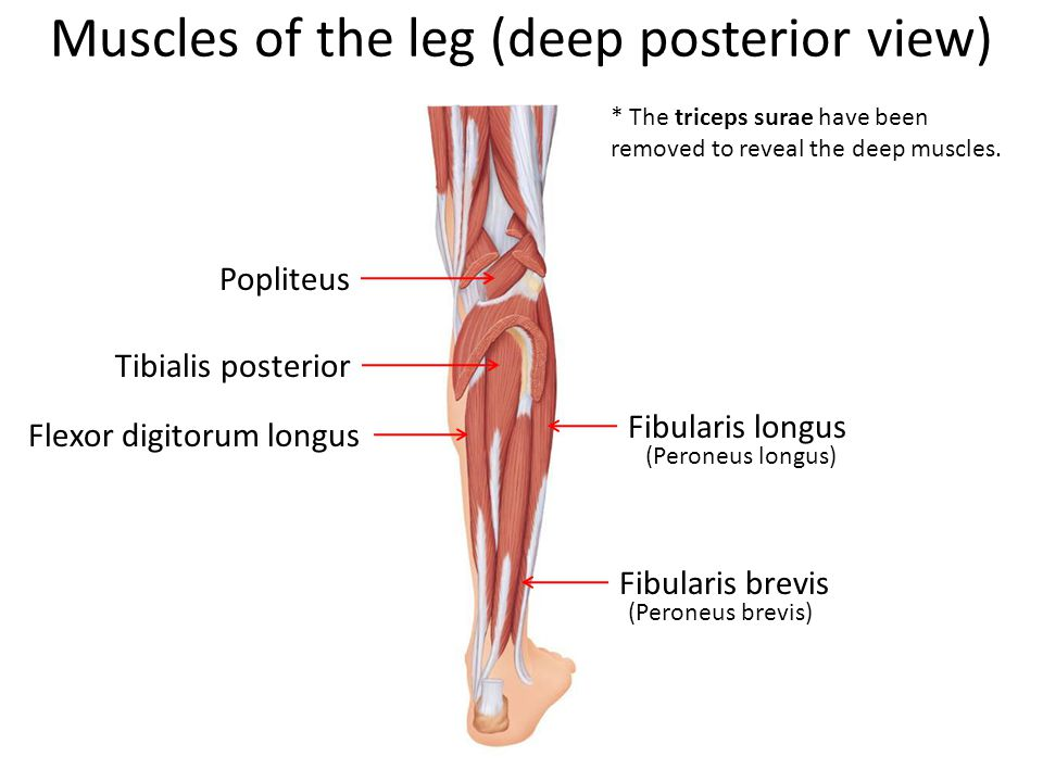 Muscles of the leg (deep posterior view)