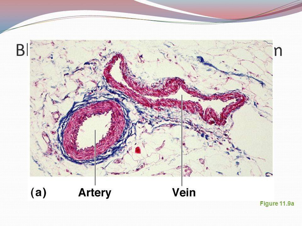 Blood Vessels: The Vascular System