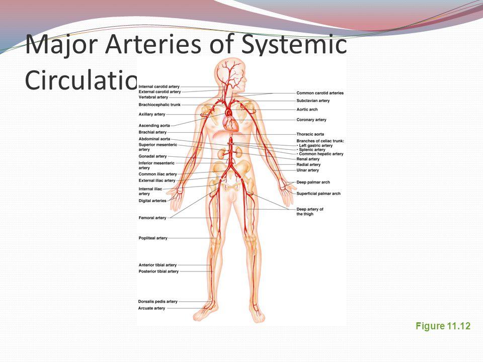 Major Arteries of Systemic Circulation