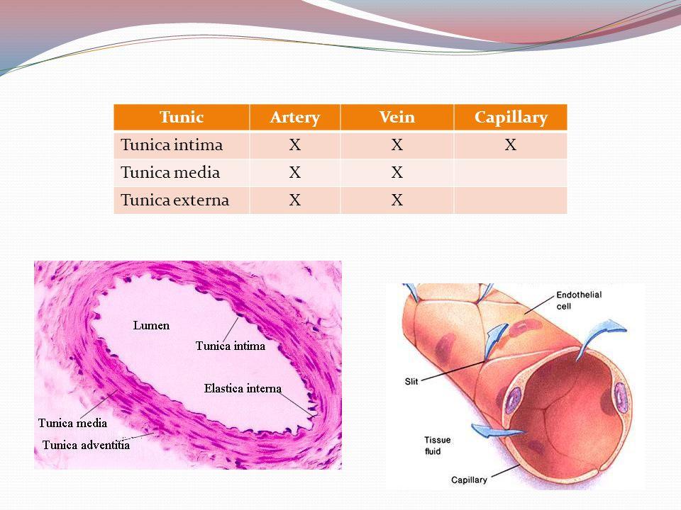 Tunic Artery Vein Capillary Tunica intima X Tunica media Tunica externa