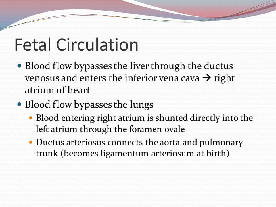Fetal Circulation Blood flow bypasses the liver through the ductus venosus and enters the inferior vena cava  right atrium of heart.