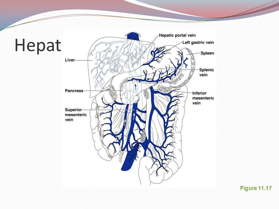 Hepatic Portal Circulation
