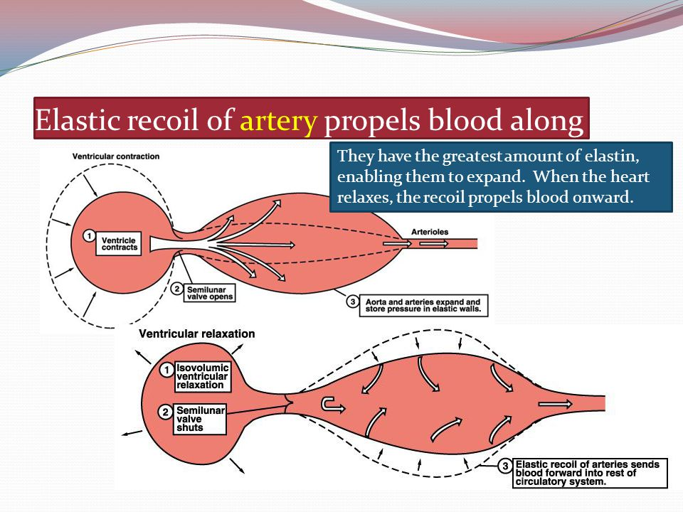 Elastic recoil of artery propels blood along