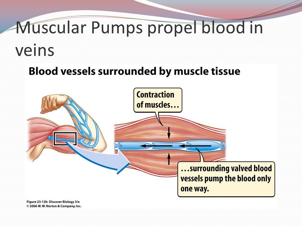 Muscular Pumps propel blood in veins