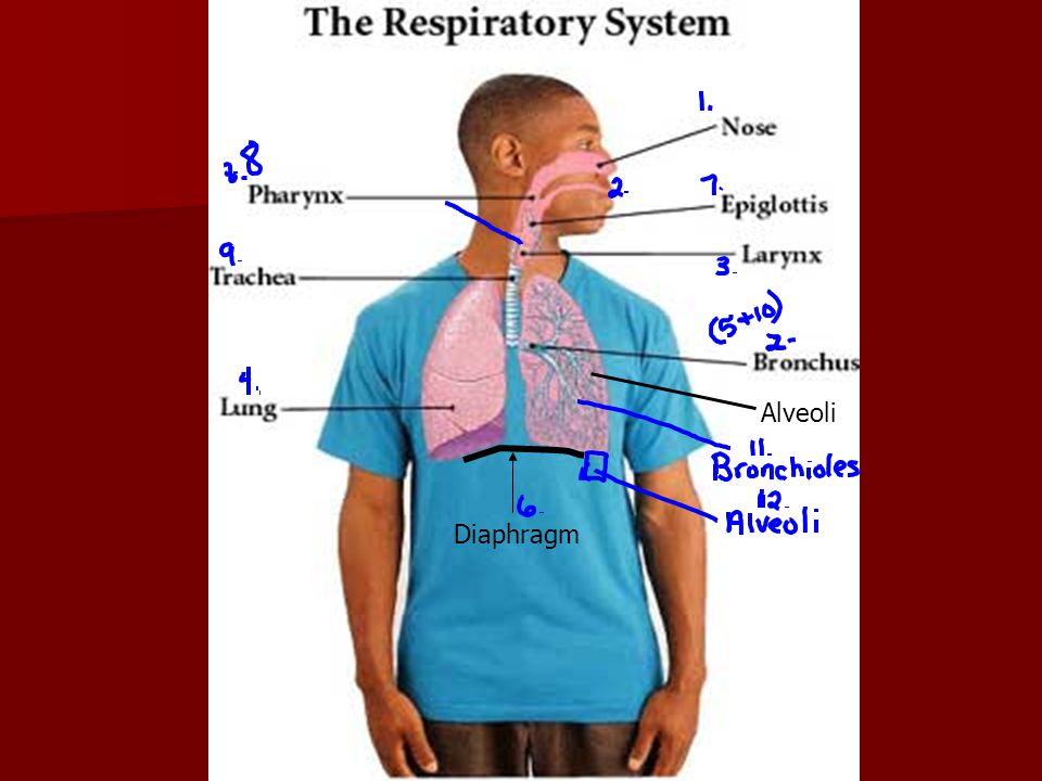 Diaphragm Alveoli