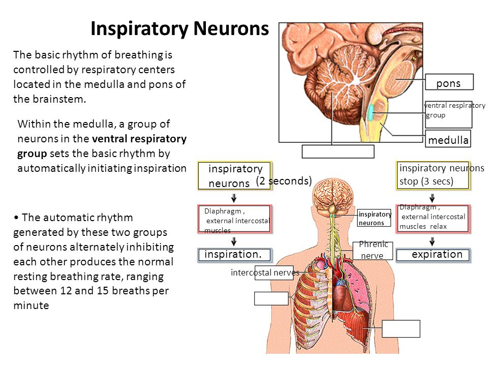 Inspiratory Neurons The basic rhythm of breathing is controlled by respiratory centers located in the medulla and pons of the brainstem.