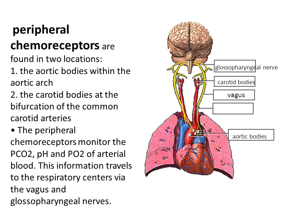 peripheral chemoreceptors are found in two locations: