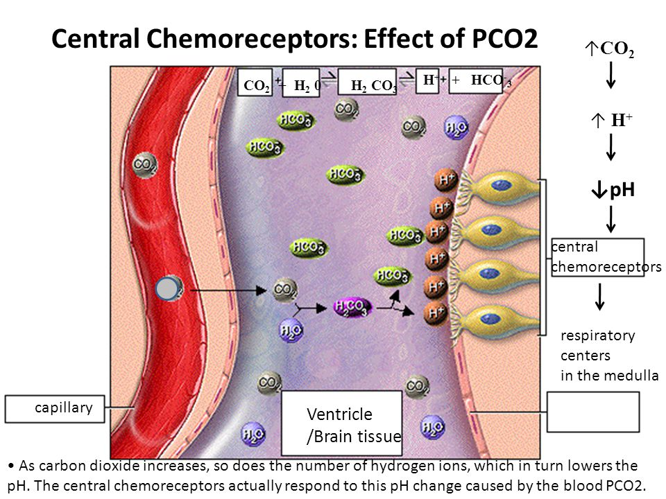 Central Chemoreceptors: Effect of PCO2