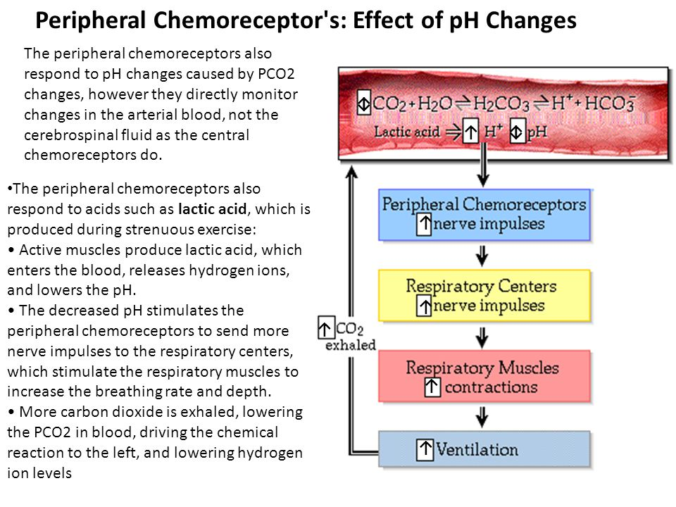Peripheral Chemoreceptor s: Effect of pH Changes