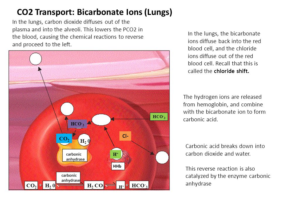 CO2 Transport: Bicarbonate Ions (Lungs)