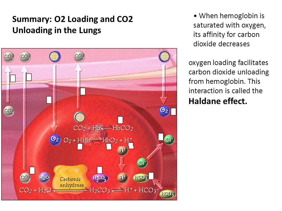 Summary: O2 Loading and CO2 Unloading in the Lungs