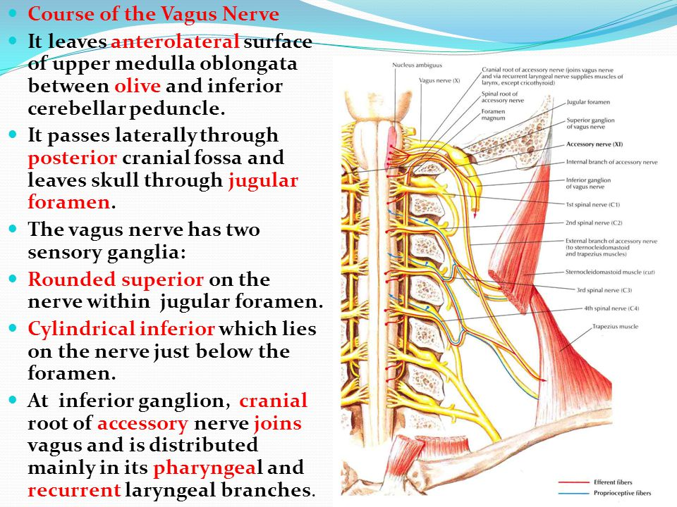 Course of the Vagus Nerve