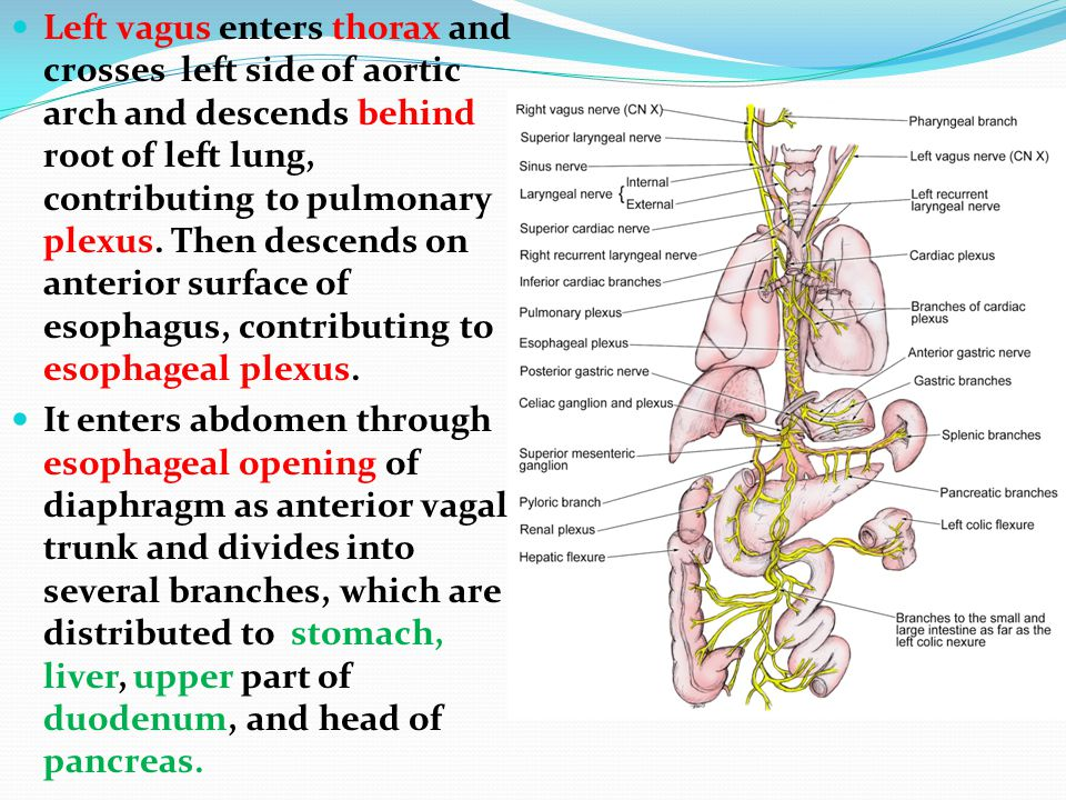 Left vagus enters thorax and crosses left side of aortic arch and descends behind root of left lung, contributing to pulmonary plexus. Then descends on anterior surface of esophagus, contributing to esophageal plexus.