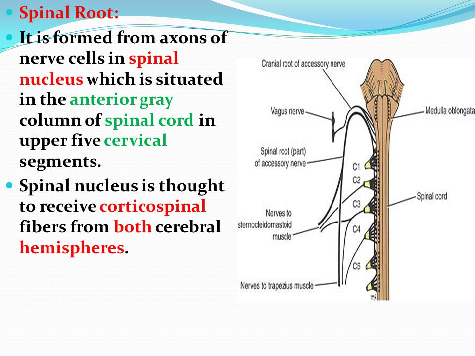 Spinal Root: