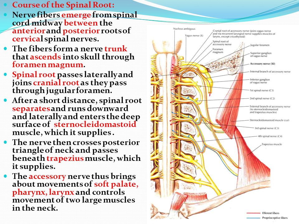 Course of the Spinal Root: