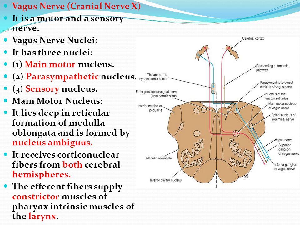 Vagus Nerve (Cranial Nerve X)