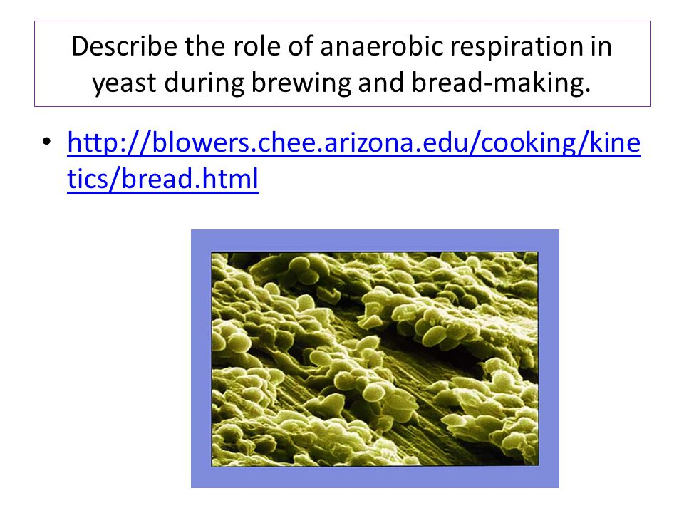 Describe the role of anaerobic respiration in yeast during brewing and bread-making.