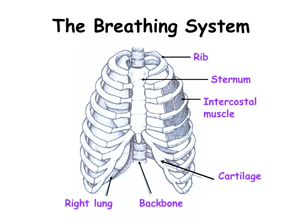 The Breathing System Rib Sternum Intercostal muscle Cartilage