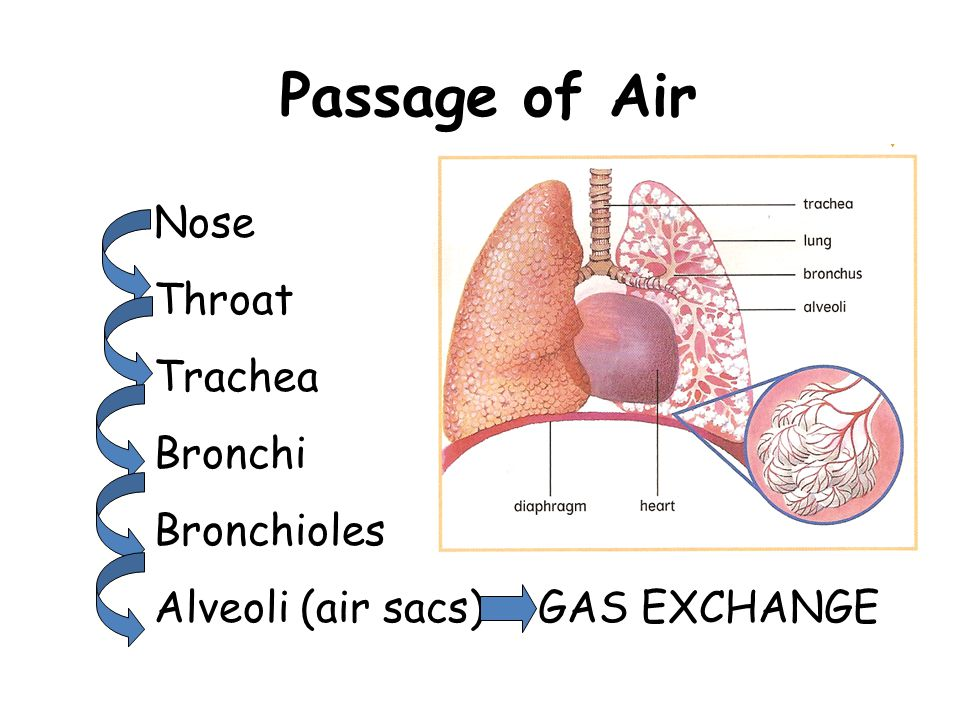 Passage of Air Throat Trachea Bronchi Bronchioles