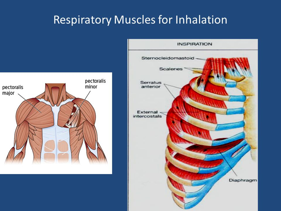Respiratory Muscles for Inhalation