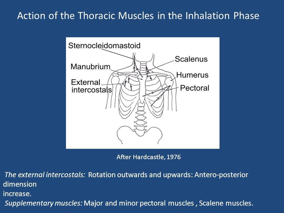Action of the Thoracic Muscles in the Inhalation Phase