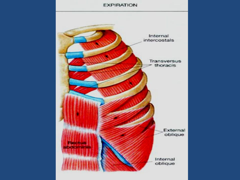 - The thoracic muscles with the internal intercostals and the transverse thoracic ;