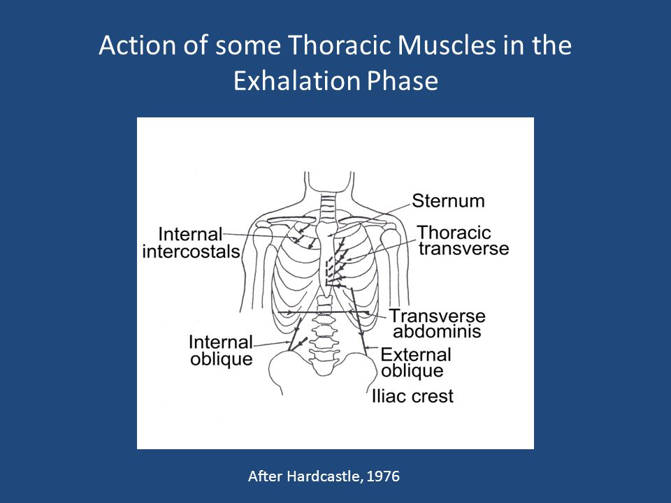 Action of some Thoracic Muscles in the Exhalation Phase