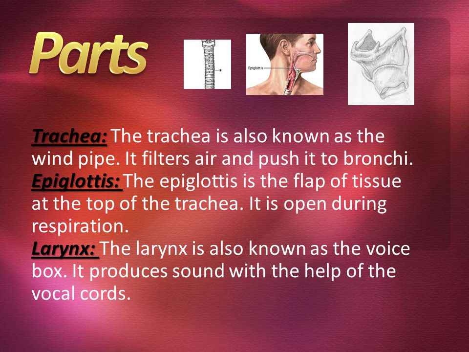 Parts Trachea: The trachea is also known as the wind pipe. It filters air and push it to bronchi.