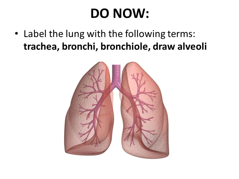 DO NOW: Label the lung with the following terms: trachea, bronchi, bronchiole, draw alveoli