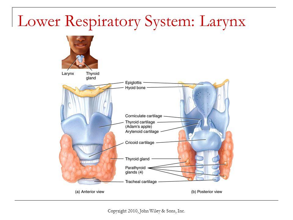 Lower Respiratory System: Larynx