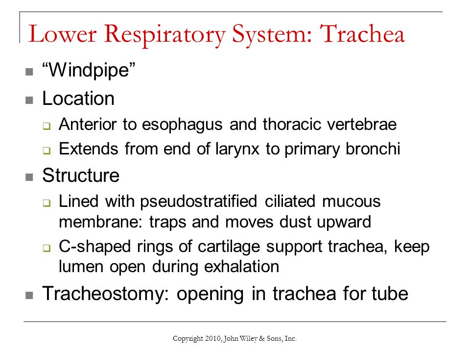 Lower Respiratory System: Trachea