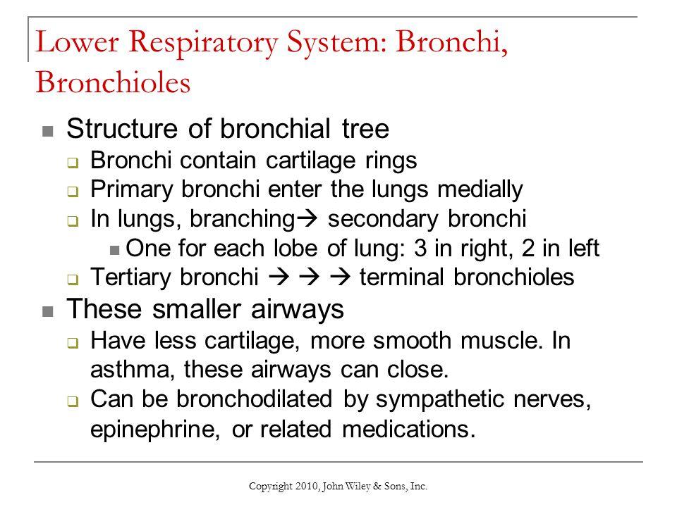 Lower Respiratory System: Bronchi, Bronchioles