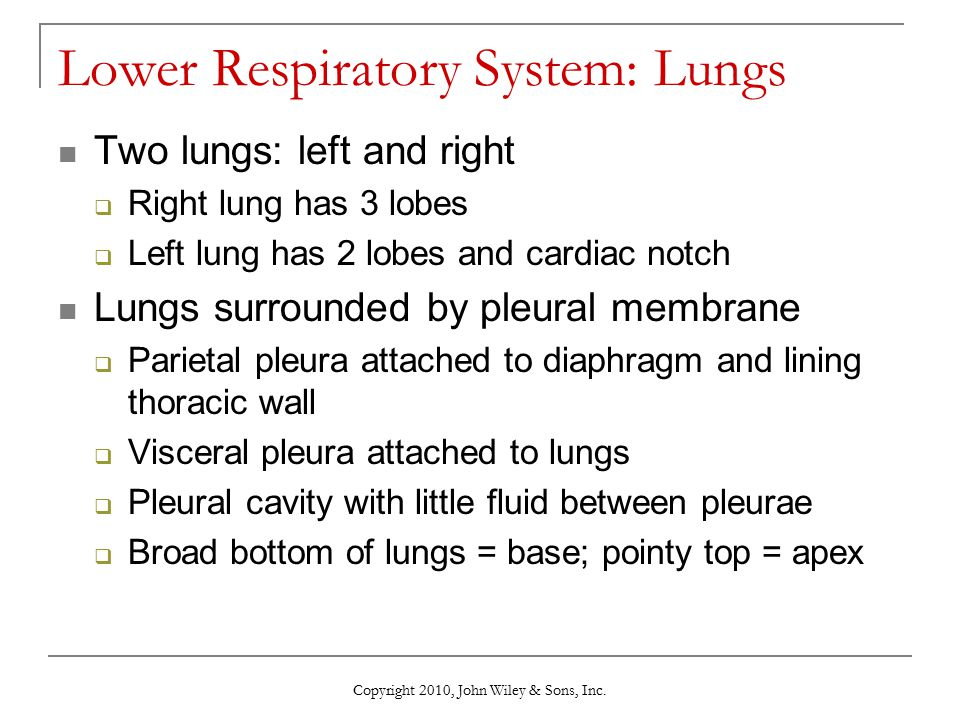 Lower Respiratory System: Lungs