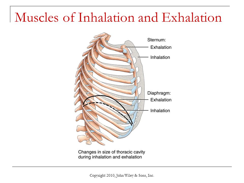 Muscles of Inhalation and Exhalation