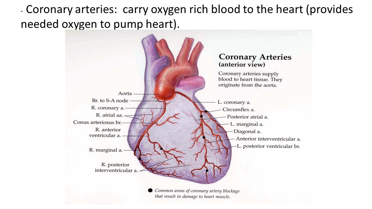 - Coronary arteries: carry oxygen rich blood to the heart (provides needed oxygen to pump heart).