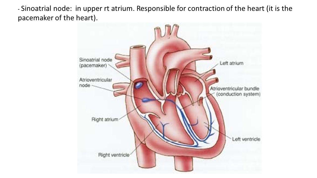 - Sinoatrial node: in upper rt atrium