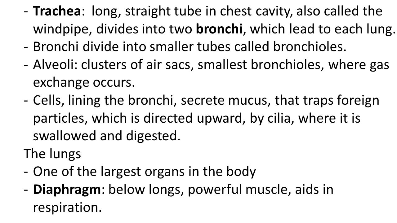Trachea: long, straight tube in chest cavity, also called the windpipe, divides into two bronchi, which lead to each lung.