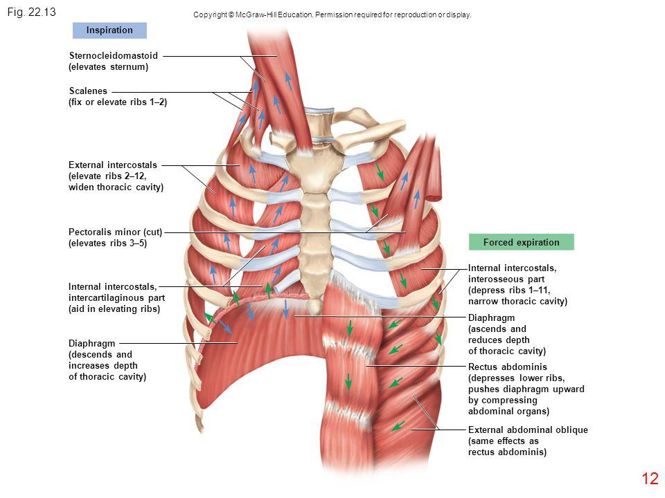 Fig. 22.13 12 Inspiration Sternocleidomastoid (elevates sternum)
